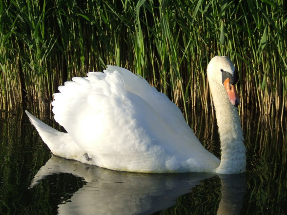 Mute Swan at The Hythe