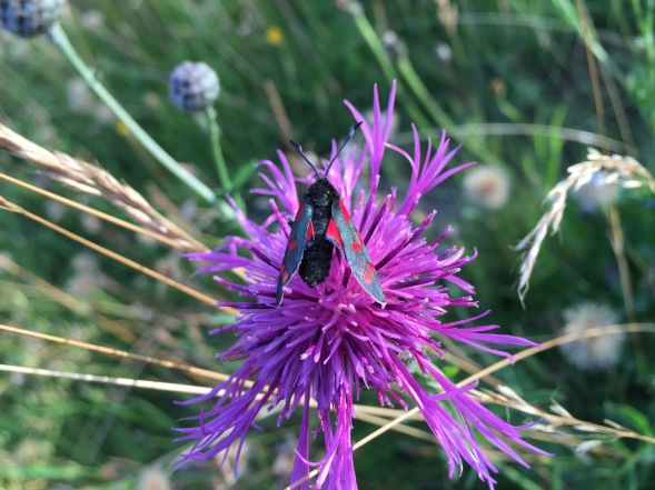 Burnet Moth on Great Knapweed in Reach Wood