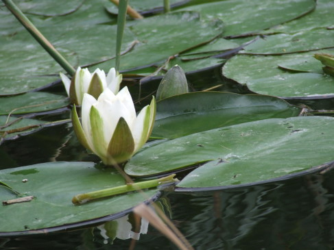 White Water-lily growing in a pond at Hurdle Hall